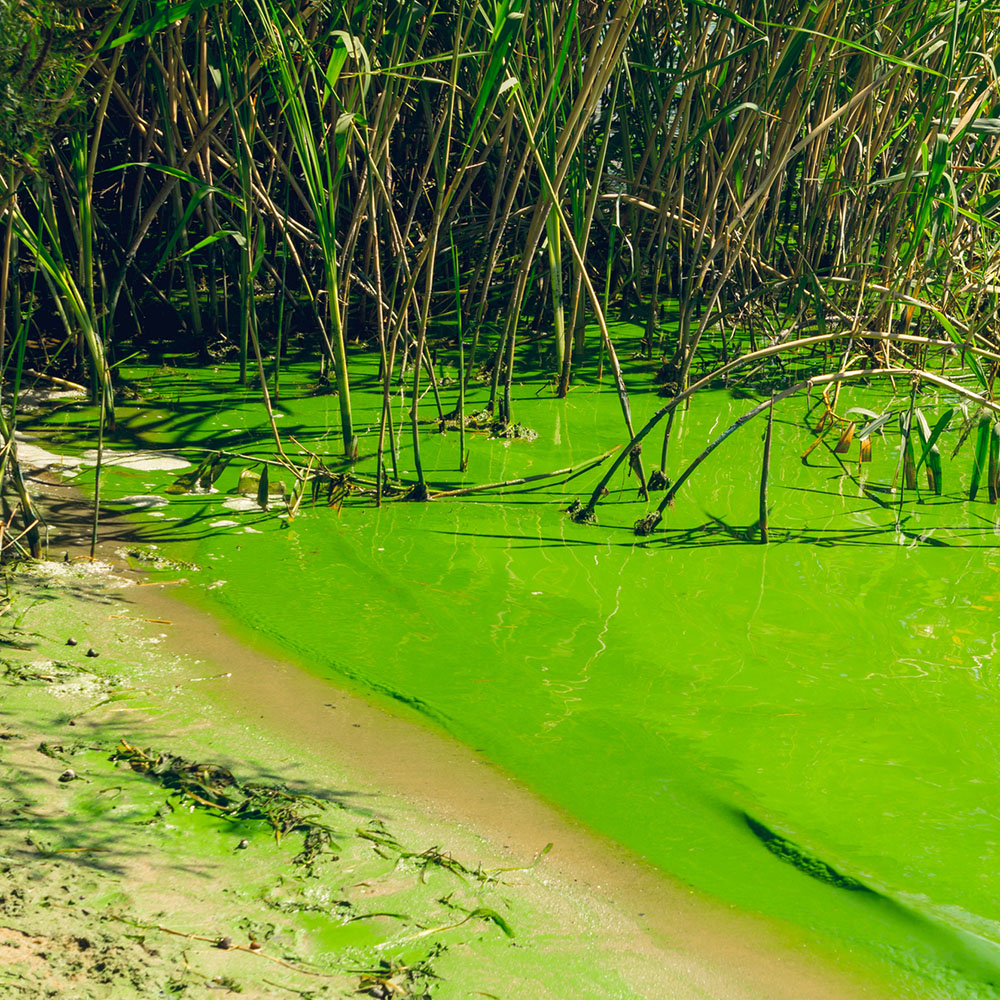 08 - What Is Causing Florida's Algae Crisis? 5 Questions Answered - Florida Blue Green Algae Map