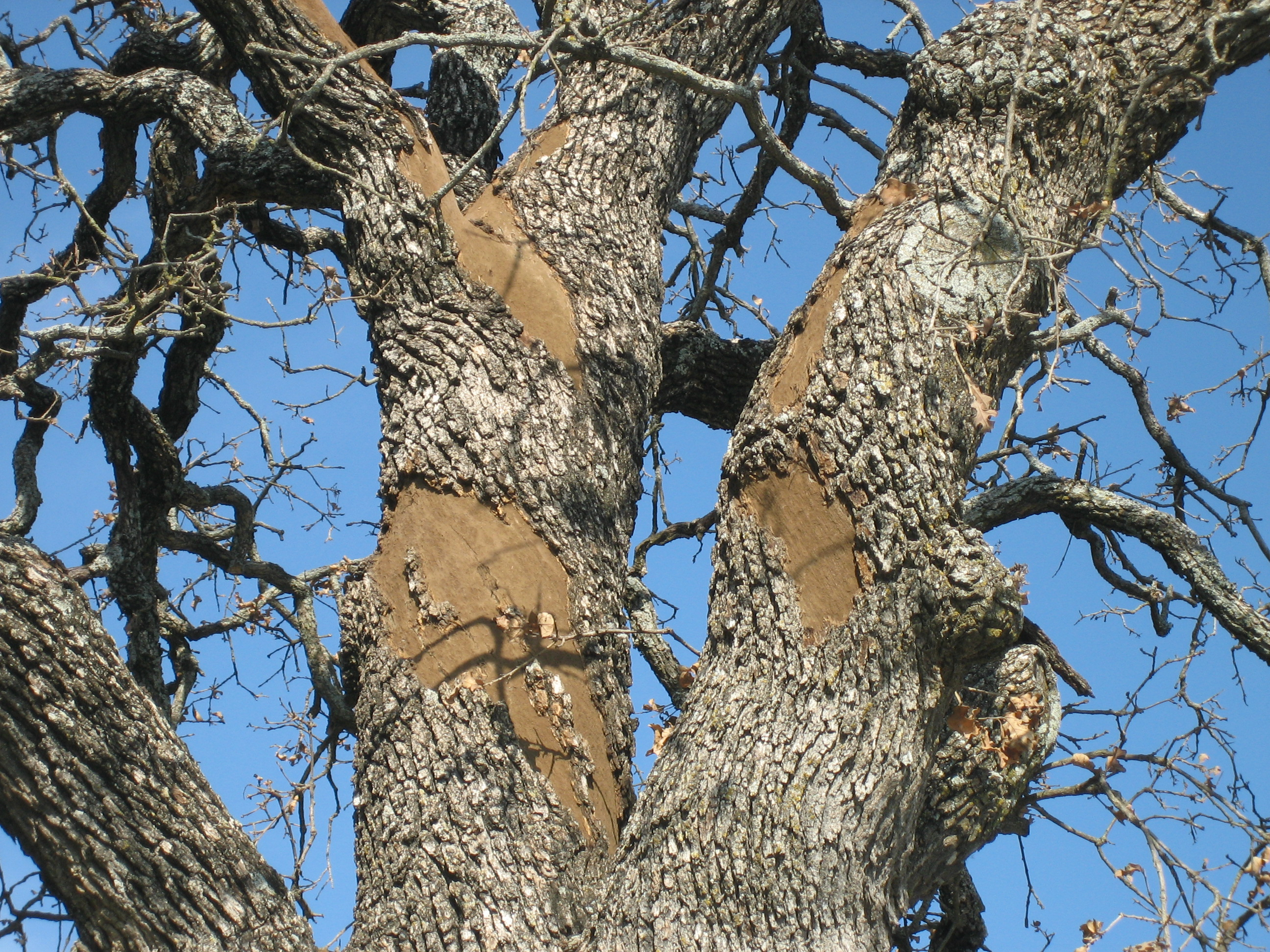 Manage Forests And Land | Diseases Tfs - Oak Wilt Texas Map
