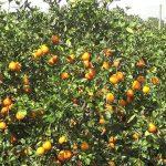 Orange Grove In Florida   Real Usa Ep. 28   Youtube   Florida Orange Groves Map