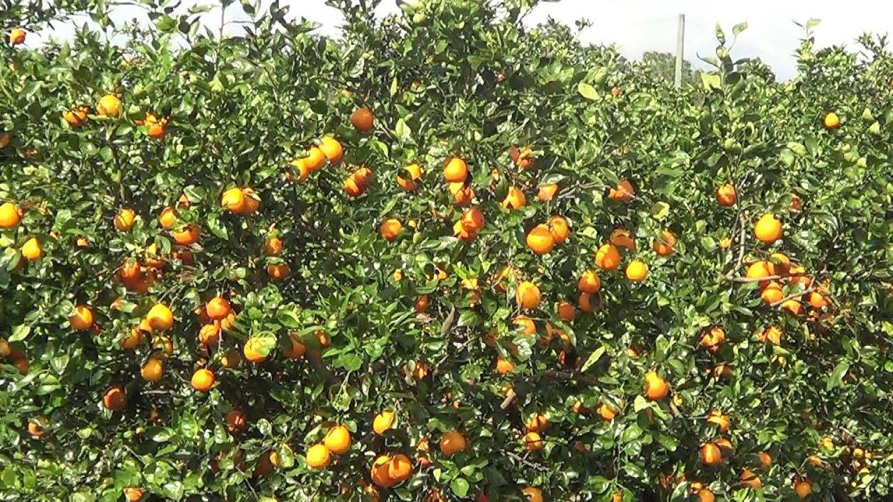 Orange Grove In Florida - Real Usa Ep. 28 - Youtube - Florida Orange Groves Map