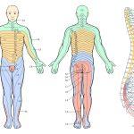 Printable Dermatome Chart   Total Life Care Compounding   Printable Body Maps
