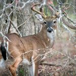 White Tailed Deer — Texas Parks & Wildlife Department   Texas Deer Hunting Zones Map